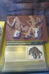Araripesuchus Patagonicus