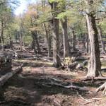 Bosque de Arboles Caidos